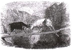 Две Козы (Ж. Давид)